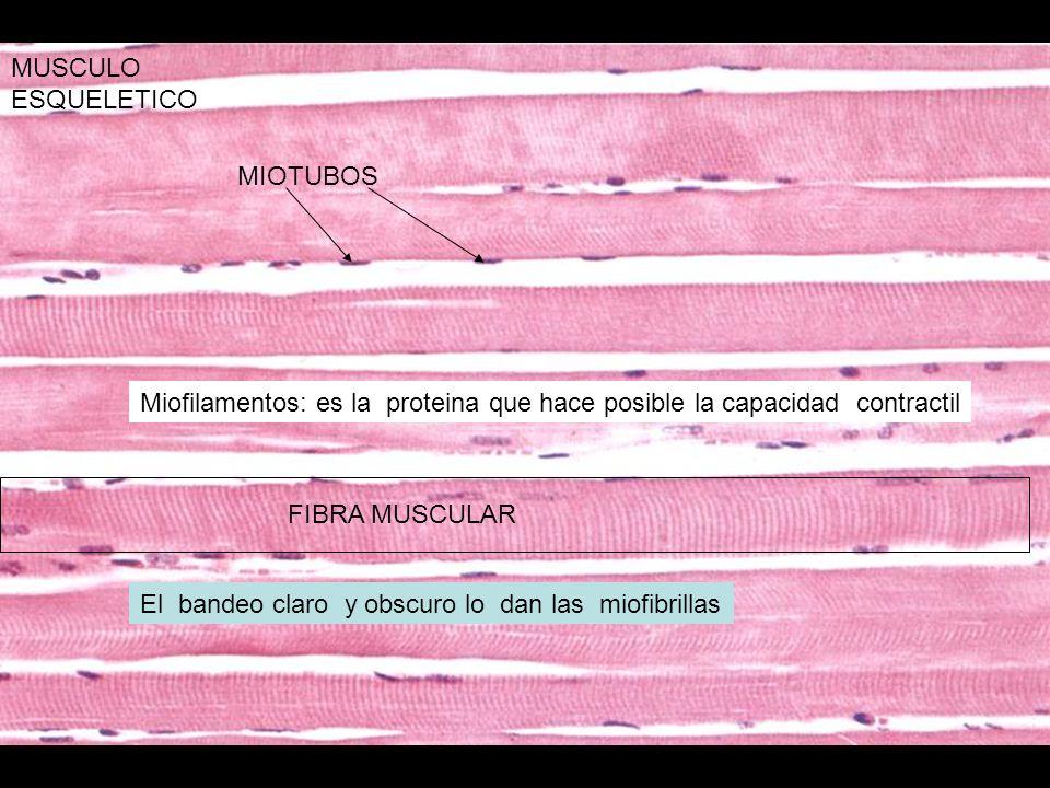 MIOTUBOS FIBRA MUSCULAR MUSCULO ESQUELETICO Miofilamentos: es la proteina que hace posible la capacidad contractil El bandeo claro y obscuro lo dan la