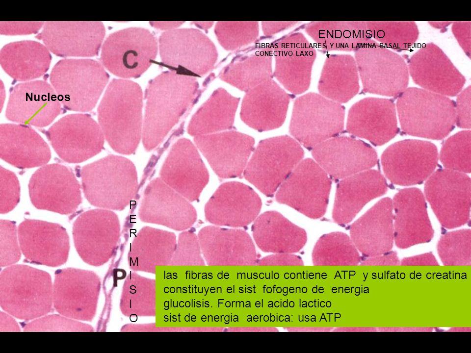 PERIMISIOPERIMISIO ENDOMISIO FIBRAS RETICULARES Y UNA LAMINA BASAL TEJIDO CONECTIVO LAXO las fibras de musculo contiene ATP y sulfato de creatina cons