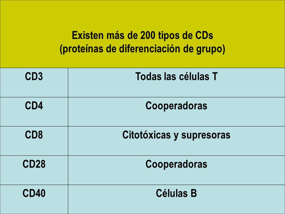 Existen más de 200 tipos de CDs (proteínas de diferenciación de grupo) CD3Todas las células T CD4Cooperadoras CD8Citotóxicas y supresoras CD28Cooperad