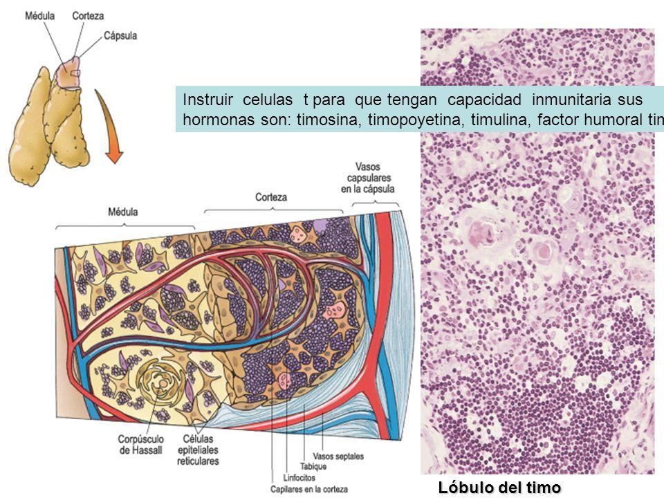 Lóbulo del timo Instruir celulas t para que tengan capacidad inmunitaria sus hormonas son: timosina, timopoyetina, timulina, factor humoral timico