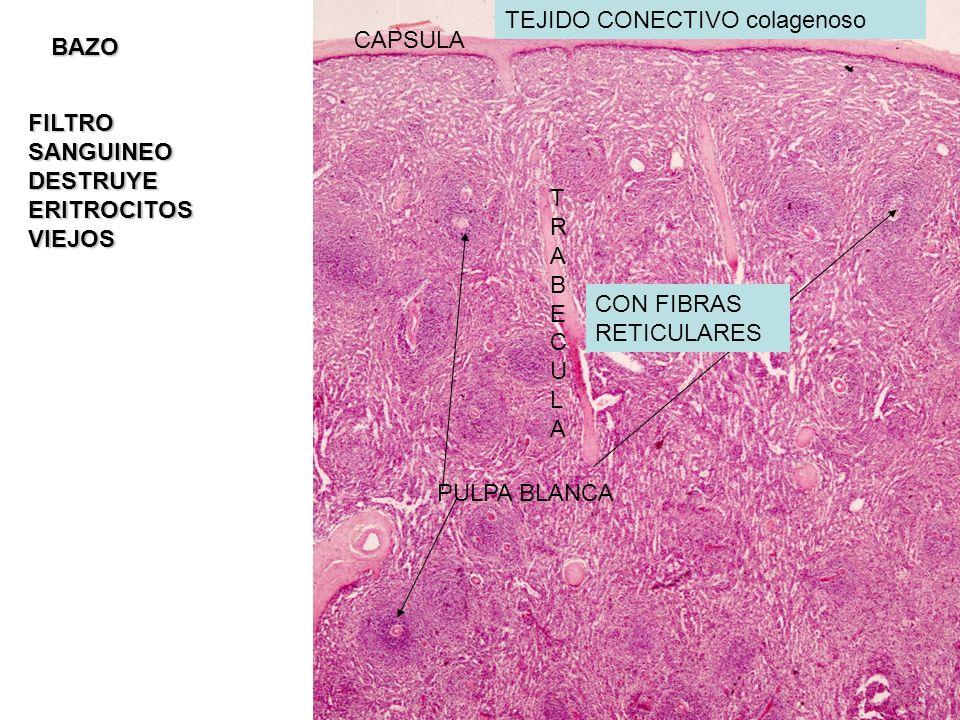 CAPSULA TRABECULATRABECULA PULPA BLANCA BAZO TEJIDO CONECTIVO colagenoso CON FIBRAS RETICULARES FILTRO SANGUINEO DESTRUYE ERITROCITOS VIEJOS