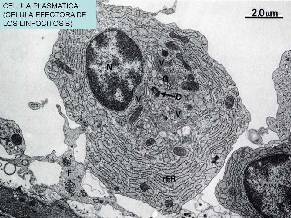 CELULA PLASMATICA (CELULA EFECTORA DE LOS LINFOCITOS B)