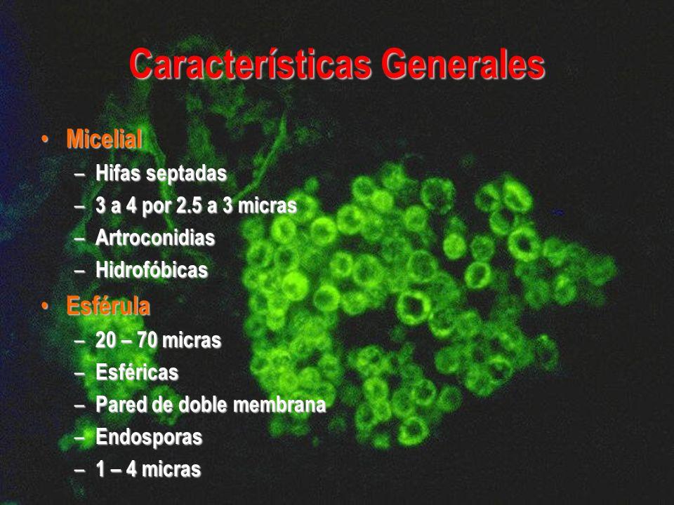Características Generales Micelial Micelial – Hifas septadas – 3 a 4 por 2.5 a 3 micras – Artroconidias – Hidrofóbicas Esférula Esférula – 20 – 70 mic