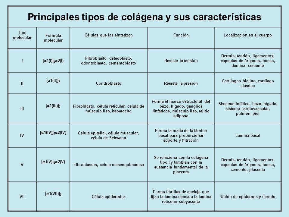 Principales tipos de colágena y sus características Tipo molecular Fórmula molecular Células que las sintetizanFunciónLocalización en el cuerpo I [ 1(