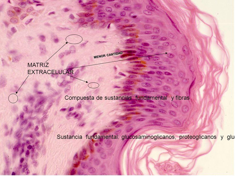 MATRIZ EXTRACELULAR MENOR CANTIDAD Compuesta de sustancias fundamental y fibras Sustancia fundamental: glucosaminoglicanos, proteoglicanos y glucoprot