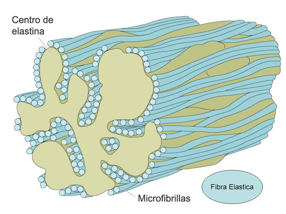 Fibra Elastica