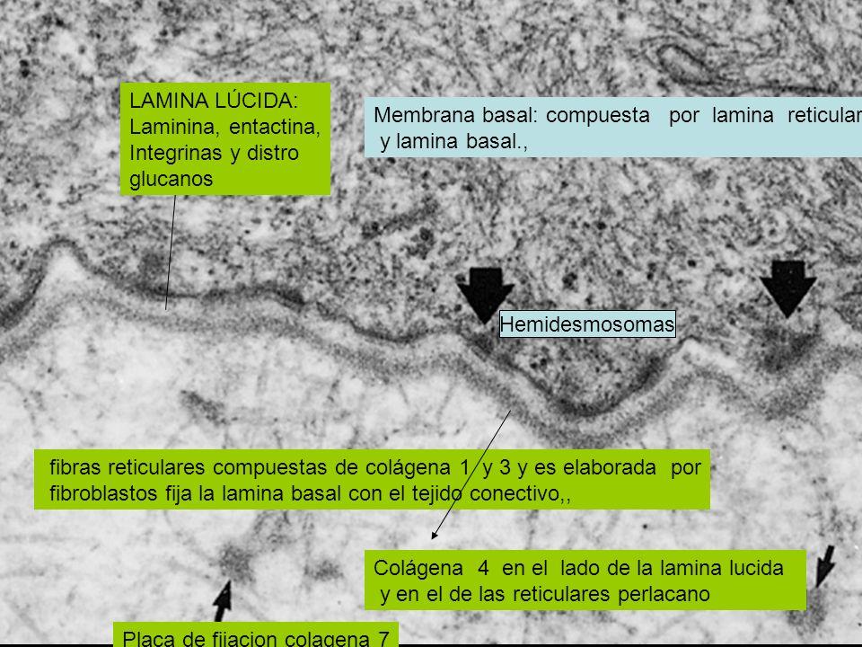 Membrana basal: compuesta por lamina reticular y lamina basal., fibras reticulares compuestas de colágena 1 y 3 y es elaborada por fibroblastos fija l