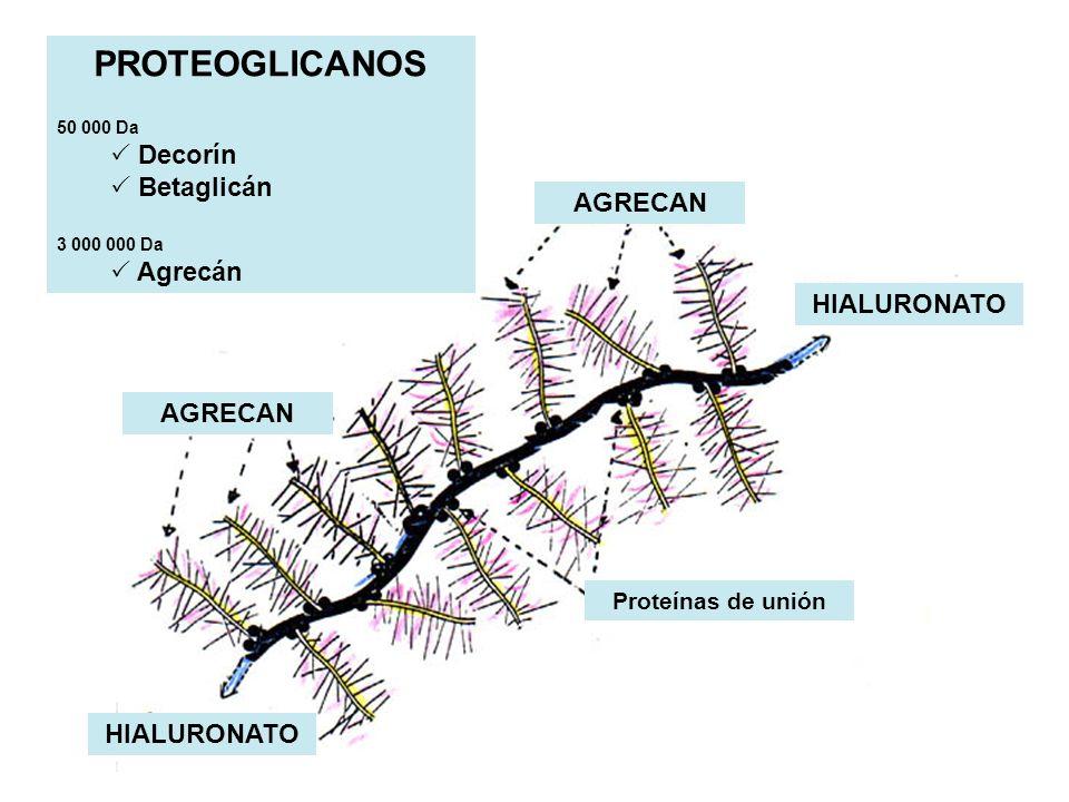 AGRECAN HIALURONATO AGRECAN HIALURONATO Proteínas de unión PROTEOGLICANOS 50 000 Da Decorín Betaglicán 3 000 000 Da Agrecán