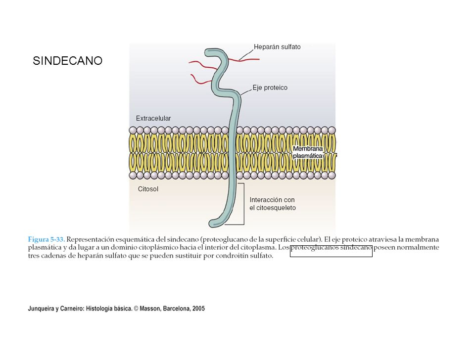 GLUCOPROTEINAS DE ADHESION CELULAR: FIBRONECTINA, LAMININA, ENTACTINA, CONDRONECTINA, OSTEONECTINA Y TENASINA