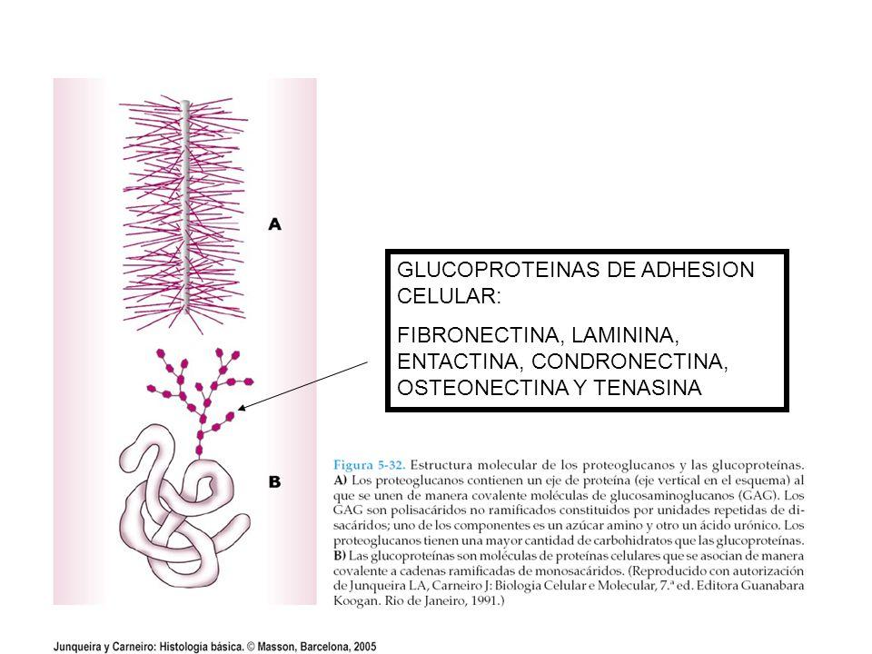 Fibras reticulares del hígado (fibras negras) impregnadas con plata (método de Bielschowvsky).