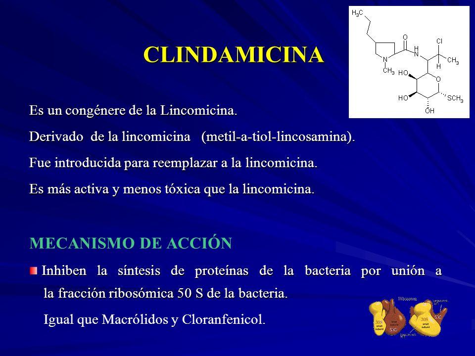 CLINDAMICINA Es un congénere de la Lincomicina. Derivado de la lincomicina (metil-a-tiol-lincosamina). Fue introducida para reemplazar a la lincomicin