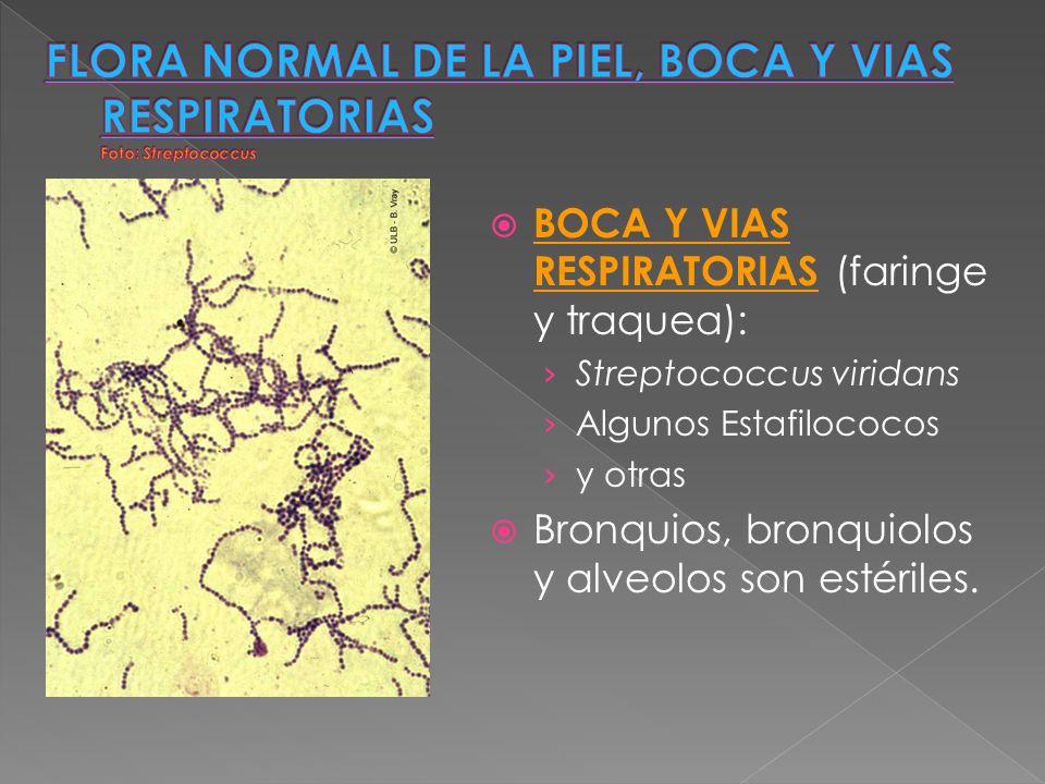 BOCA Y VIAS RESPIRATORIAS (faringe y traquea): Streptococcus viridans Algunos Estafilococos y otras Bronquios, bronquiolos y alveolos son estériles.