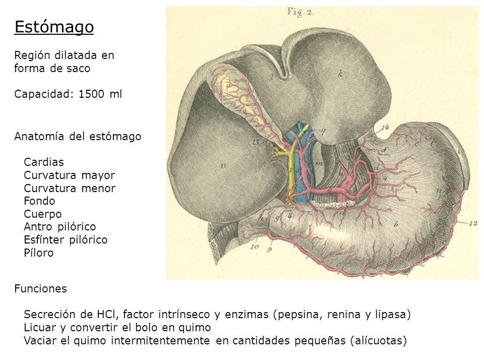 Estómago Región dilatada en forma de saco Capacidad: 1500 ml Anatomía del estómago Cardias Curvatura mayor Curvatura menor Fondo Cuerpo Antro pilórico
