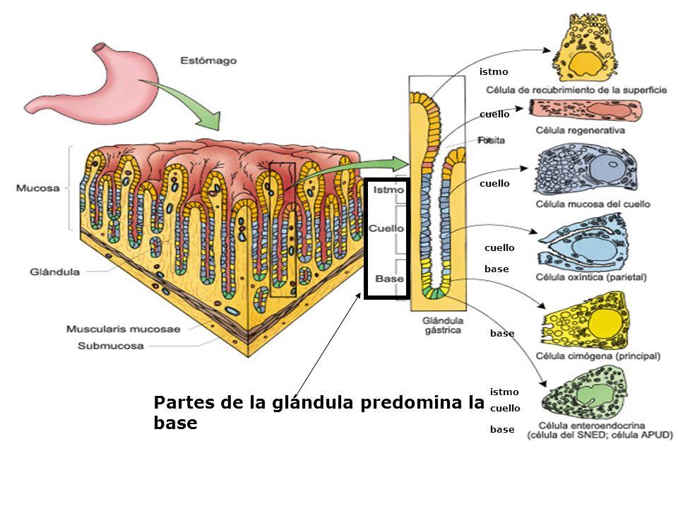 Partes de la glándula predomina la base istmo cuello base