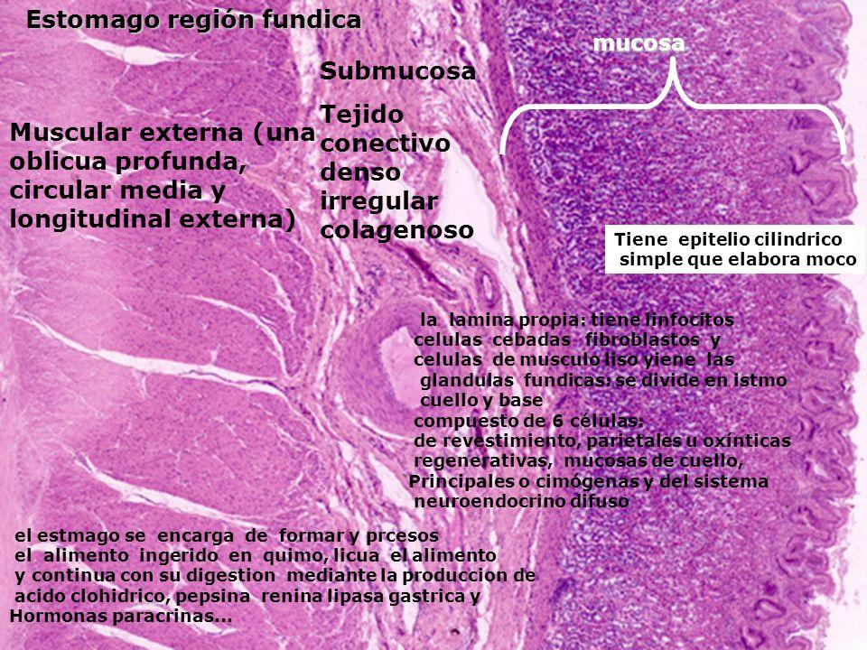 Estomago región fundica mucosa Submucosa Tejido conectivo denso irregular colagenoso Muscular externa (una oblicua profunda, circular media y longitud