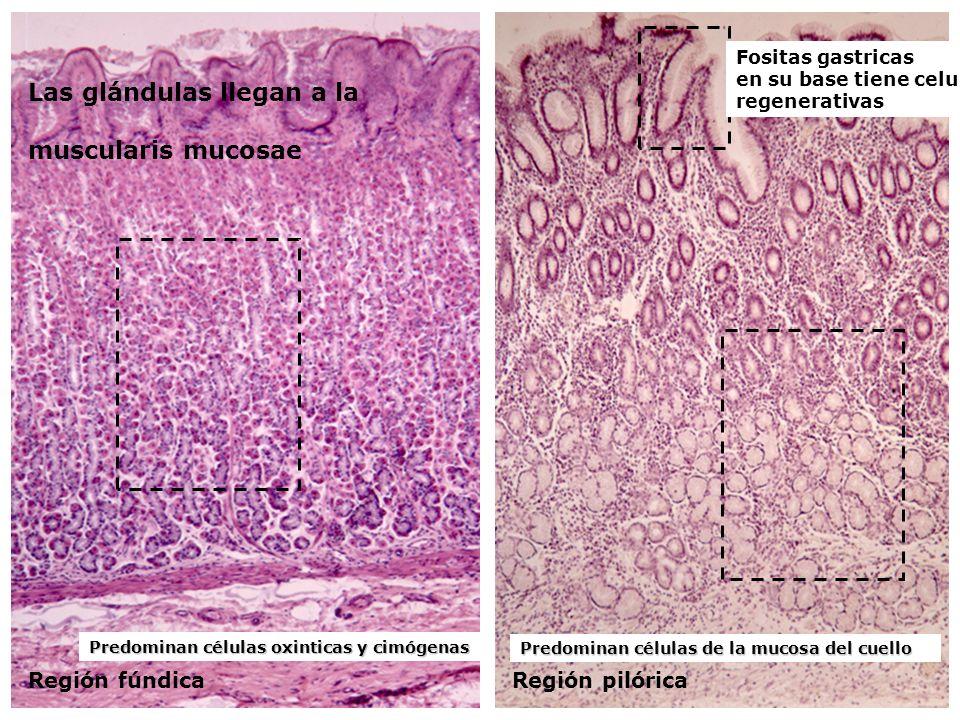 Región fúndicaRegión pilórica Predominan células oxinticas y cimógenas Las glándulas llegan a la muscularis mucosae Predominan células de la mucosa de