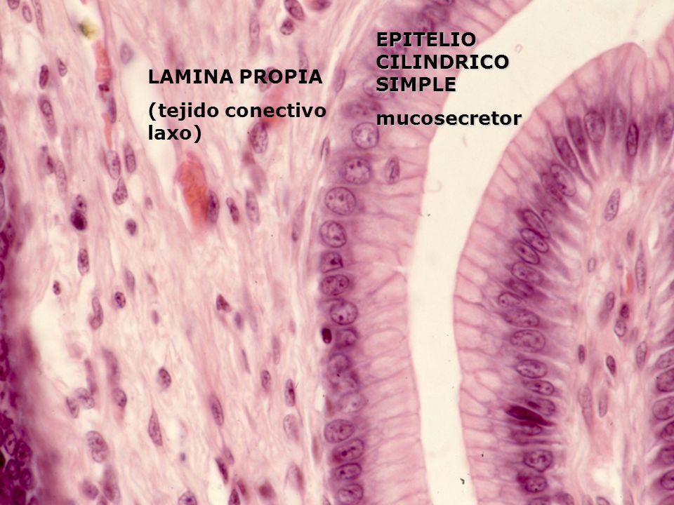 EPITELIO CILINDRICO SIMPLE mucosecretor LAMINA PROPIA (tejido conectivo laxo)