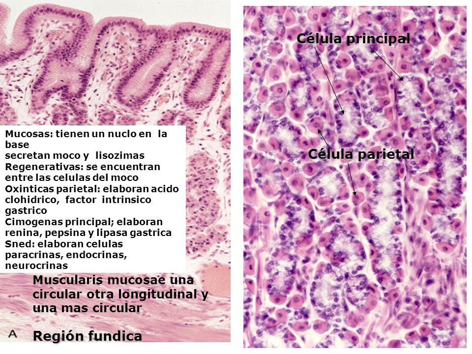 Región fundica Muscularis mucosae una circular otra longitudinal y una mas circular Célula Célula principal Célula Célula parietal Mucosas: tienen un