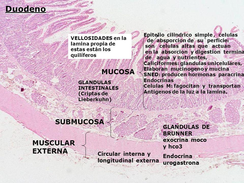Duodeno MUCOSA MUSCULAR EXTERNA SUBMUCOSA GLANDULAS DE BRUNNER exocrina moco y hco3 Endocrina urogastrona VELLOSIDADES en la lamina propia de estas es