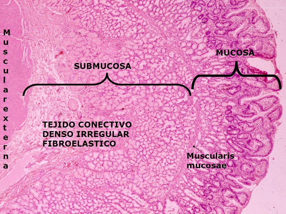 MUCOSA SUBMUCOSA MuscularexternaMuscularexterna Muscularis mucosae TEJIDO CONECTIVO DENSO IRREGULAR FIBROELASTICO