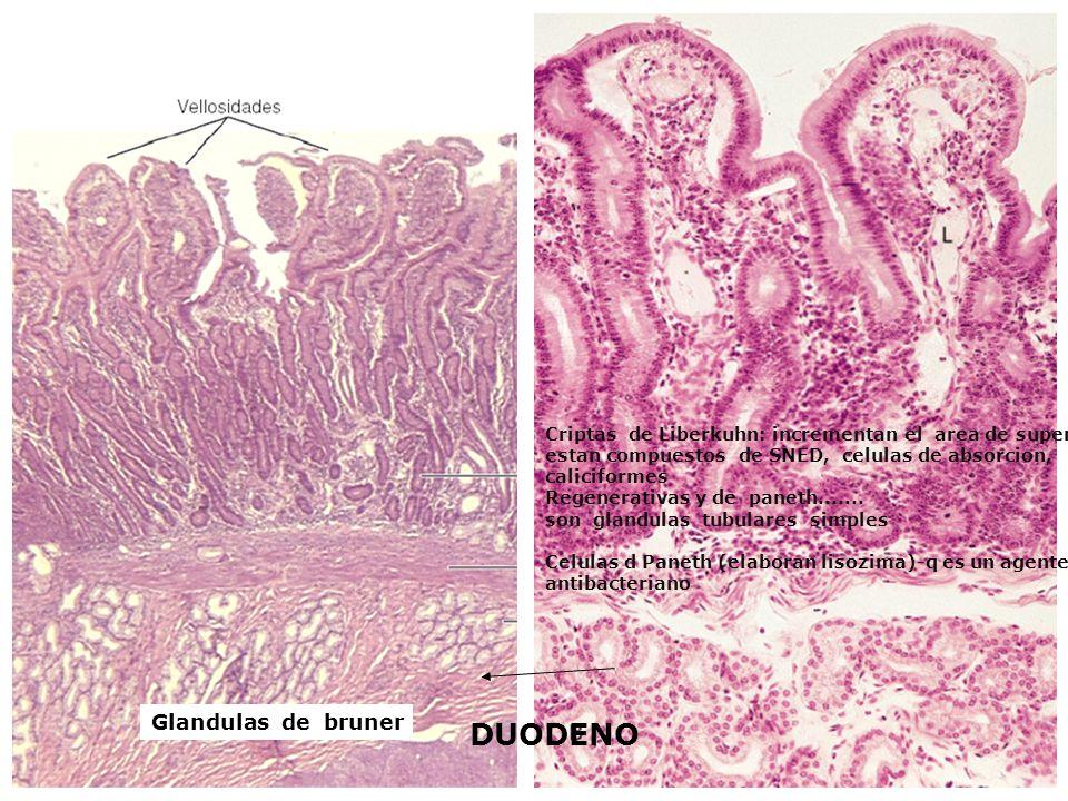 DUODENO Criptas de Liberkuhn: incrementan el area de superficie estan compuestos de SNED, celulas de absorcion, caliciformes Regenerativas y de paneth