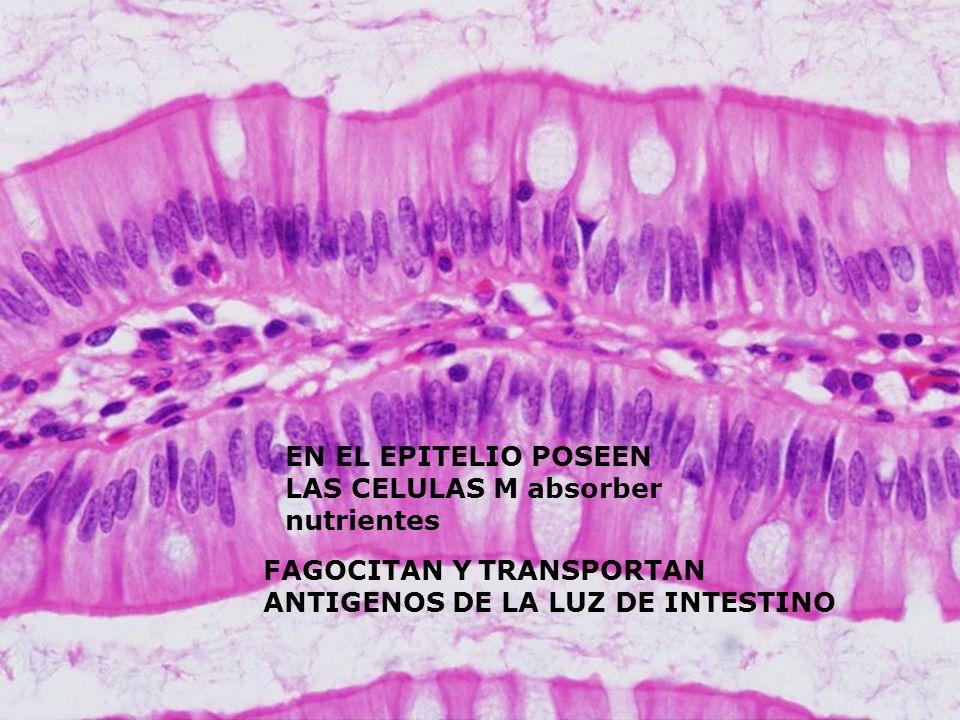 EN EL EPITELIO POSEEN LAS CELULAS M absorber nutrientes FAGOCITAN Y TRANSPORTAN ANTIGENOS DE LA LUZ DE INTESTINO