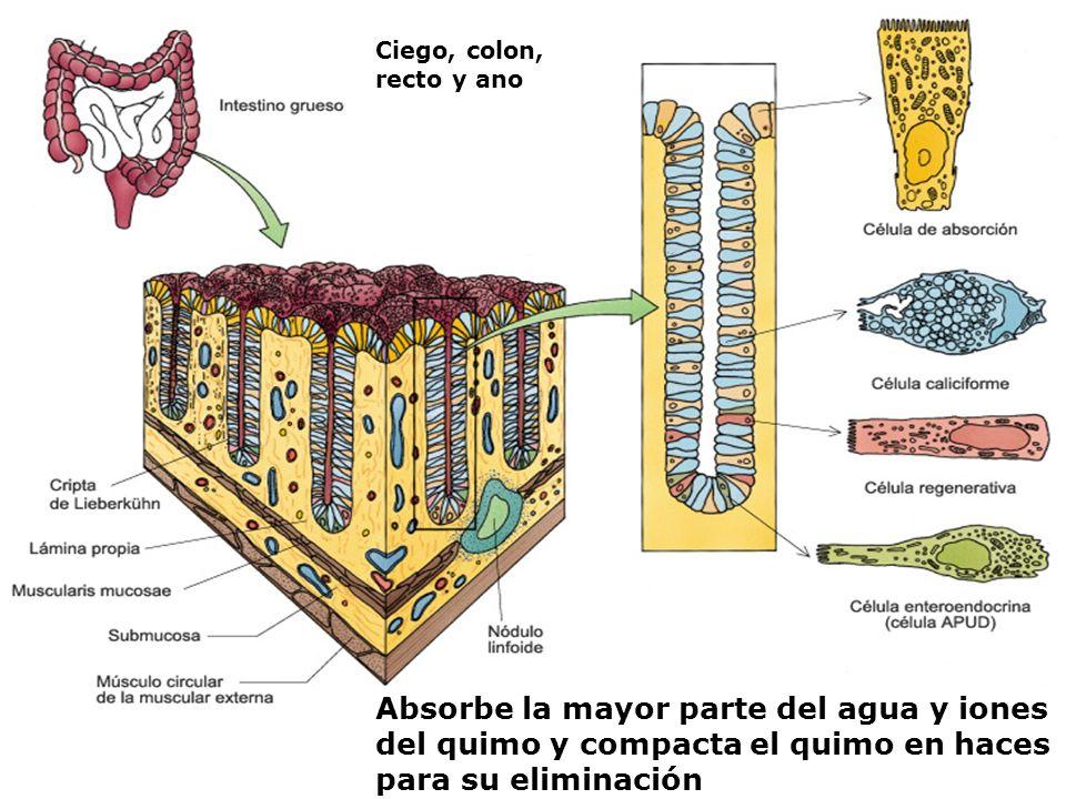 Ciego, colon, recto y ano Absorbe la mayor parte del agua y iones del quimo y compacta el quimo en haces para su eliminación