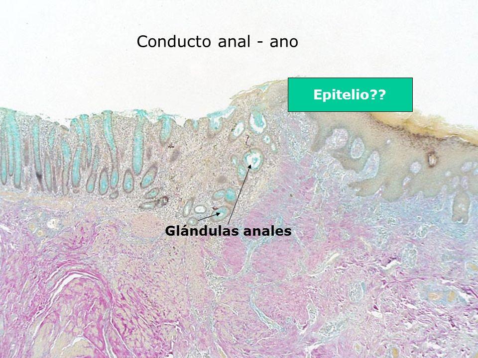 Conducto anal - ano Glándulas anales Epitelio??