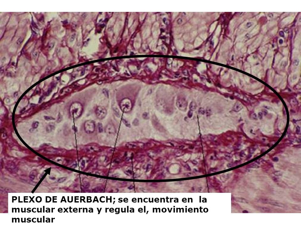 PLEXO DE AUERBACH; se encuentra en la muscular externa y regula el, movimiento muscular