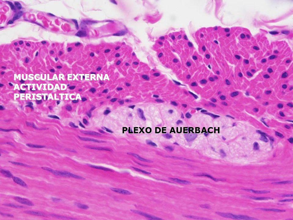 Célula de la mucosa del cuello Secretan el moco soluble y se hayan en el cuello de la glándula además secretan lisozima
