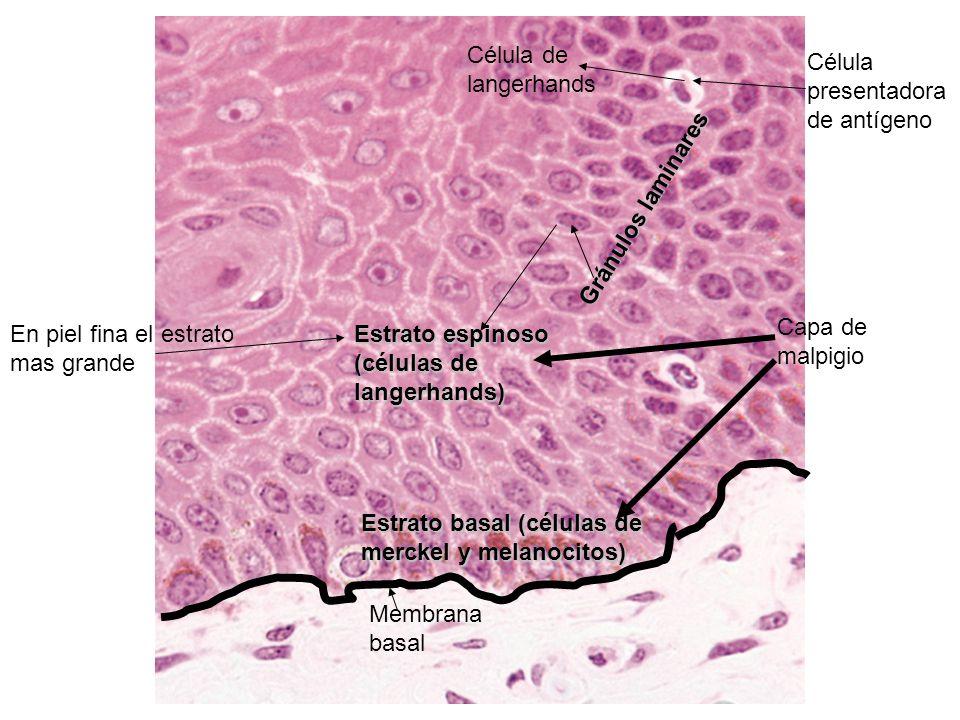 Membrana basal Estrato basal (células de merckel y melanocitos) Estrato espinoso (células de langerhands) En piel fina el estrato mas grande Capa de m