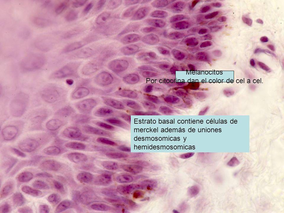 Estrato basal contiene células de merckel además de uniones desmosomicas y hemidesmosomicas Melanocitos Por citocrina dan el color de cel a cel.
