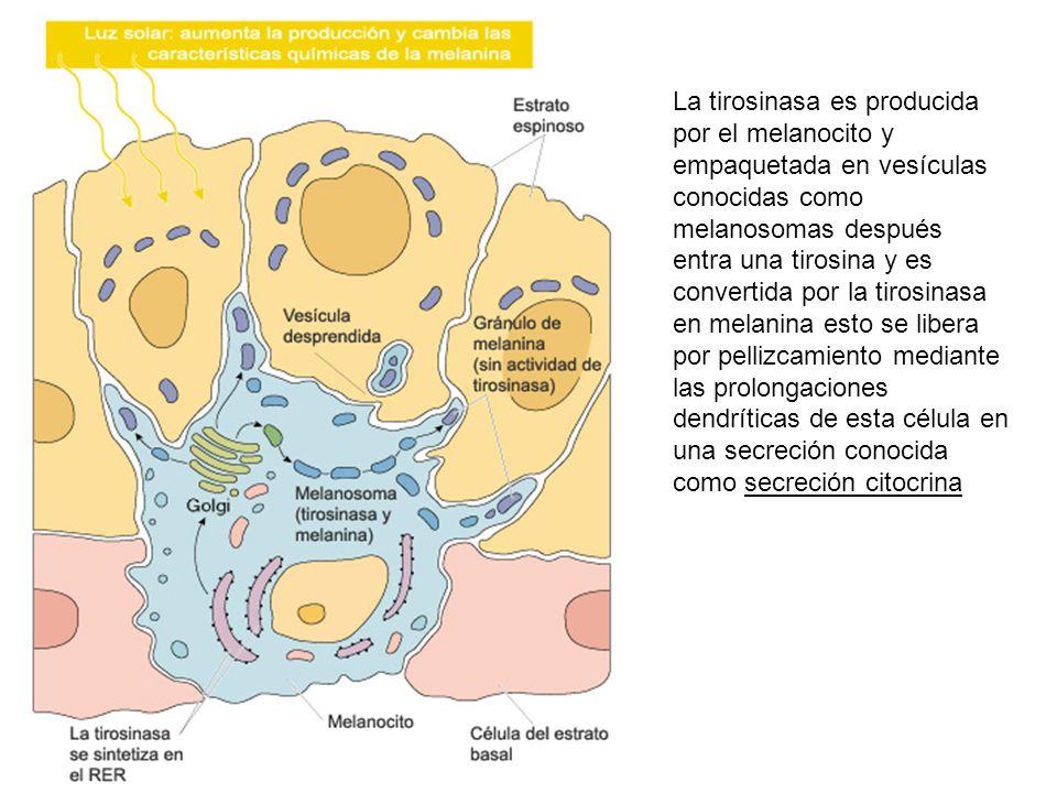La tirosinasa es producida por el melanocito y empaquetada en vesículas conocidas como melanosomas después entra una tirosina y es convertida por la t