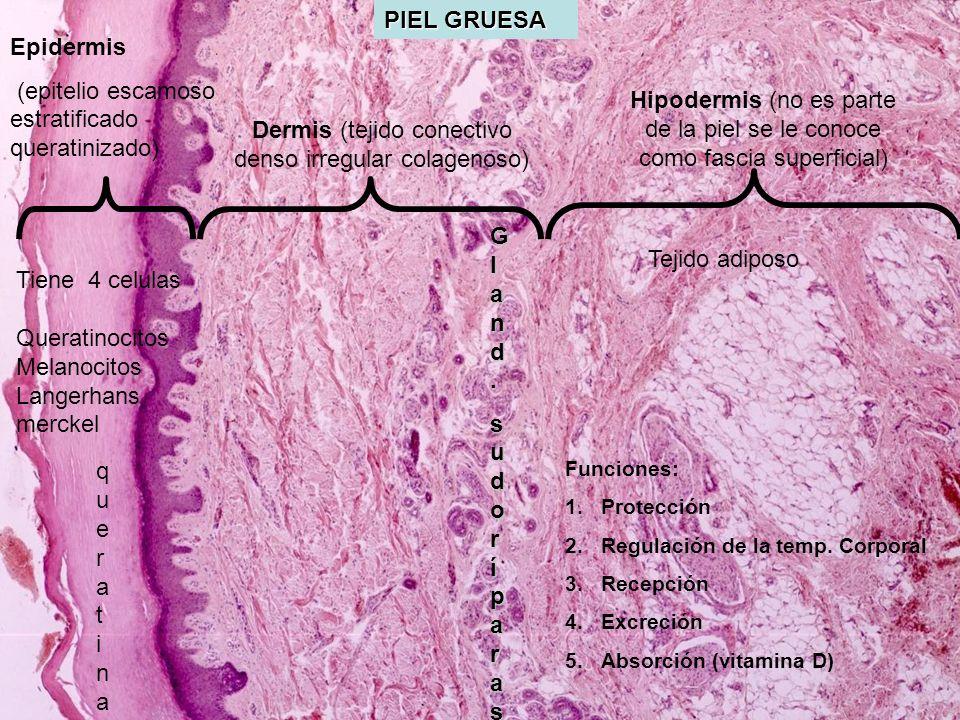 PIEL GRUESA queratinaqueratina Hipodermis (no es parte de la piel se le conoce como fascia superficial) Epidermis (epitelio escamoso estratificado que