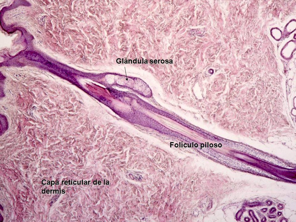 Folículo piloso Glándula serosa Capa reticular de la dermis