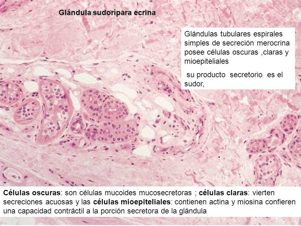 Glándula sudorípara ecrina Glándulas tubulares espirales simples de secreción merocrina posee células oscuras,claras y mioepiteliales su producto secr