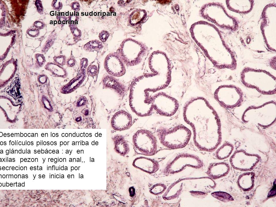 Glándula sudorípara apócrina Desembocan en los conductos de los folículos pilosos por arriba de la glándula sebácea : ay en axilas pezon y region anal