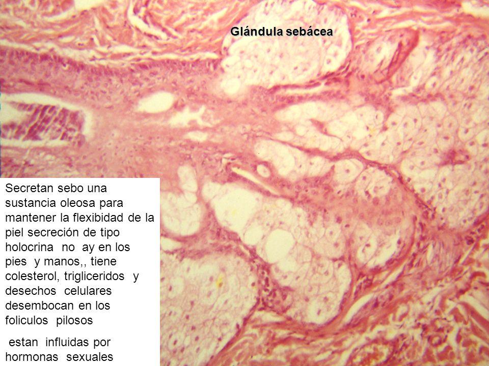 Glándula sebácea Secretan sebo una sustancia oleosa para mantener la flexibidad de la piel secreción de tipo holocrina no ay en los pies y manos,, tie