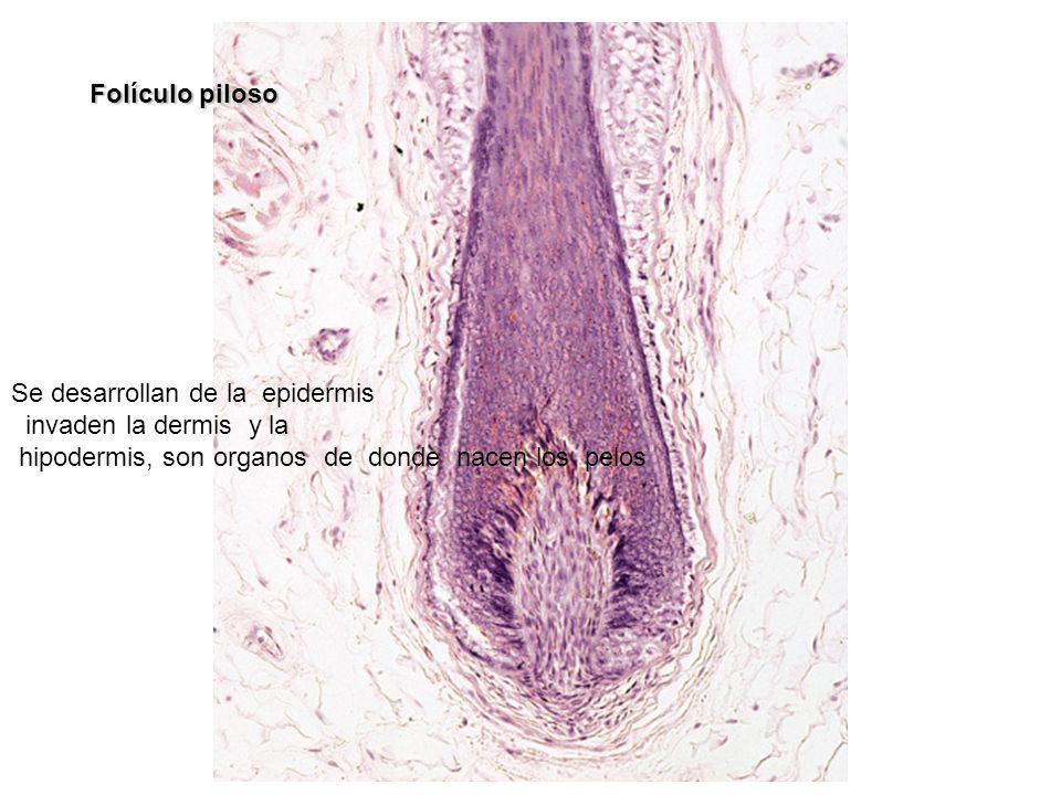 Folículo piloso Se desarrollan de la epidermis invaden la dermis y la hipodermis, son organos de donde nacen los pelos