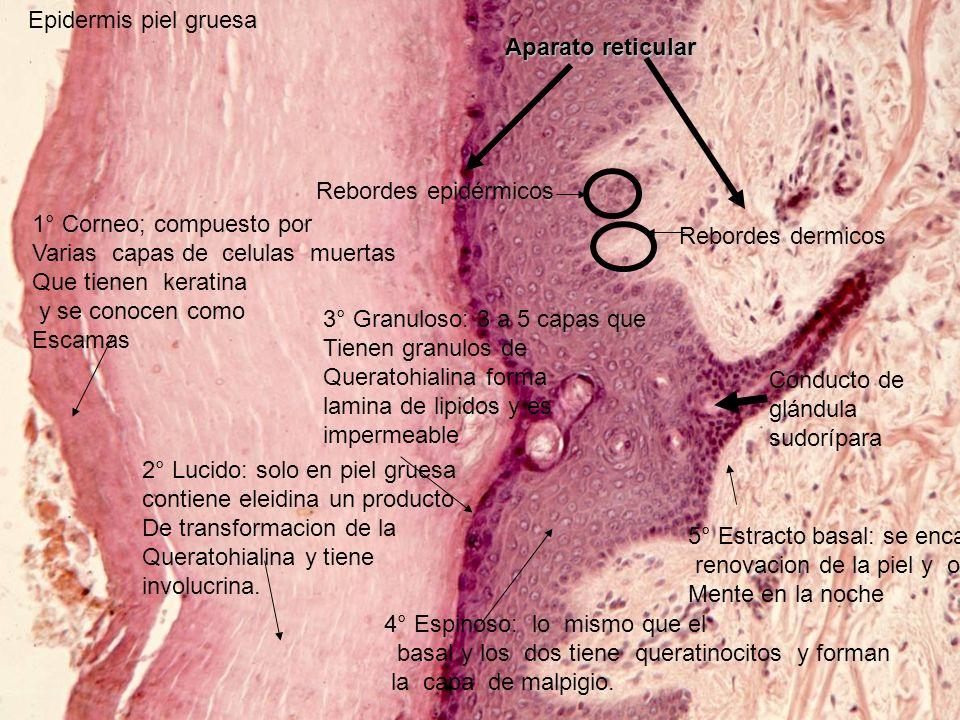Rebordes dermicos Rebordes epidérmicos Epidermis piel gruesa Aparato reticular Conducto de glándula sudorípara 5° Estracto basal: se encarga de la ren