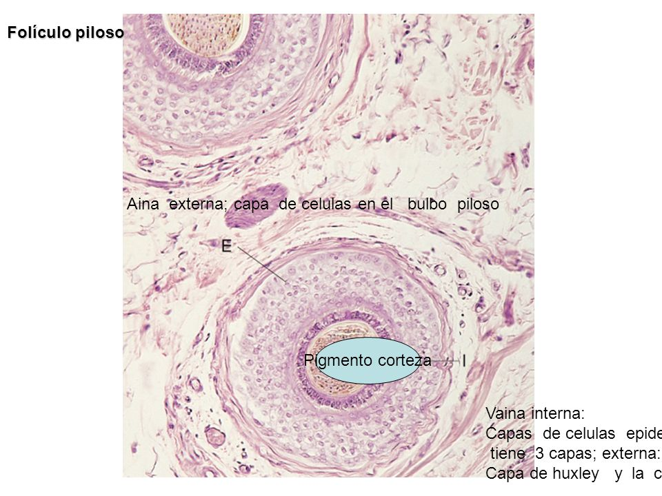 Folículo piloso Aina externa; capa de celulas en el bulbo piloso Vaina interna: Capas de celulas epidermicas tiene 3 capas; externa: cuboidales, Capa