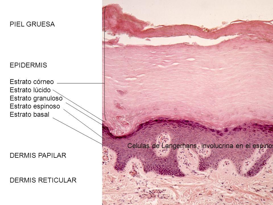 PIEL GRUESA EPIDERMIS Estrato córneo Estrato lúcido Estrato granuloso Estrato espinoso Estrato basal DERMIS PAPILAR DERMIS RETICULAR Celulas de Langer