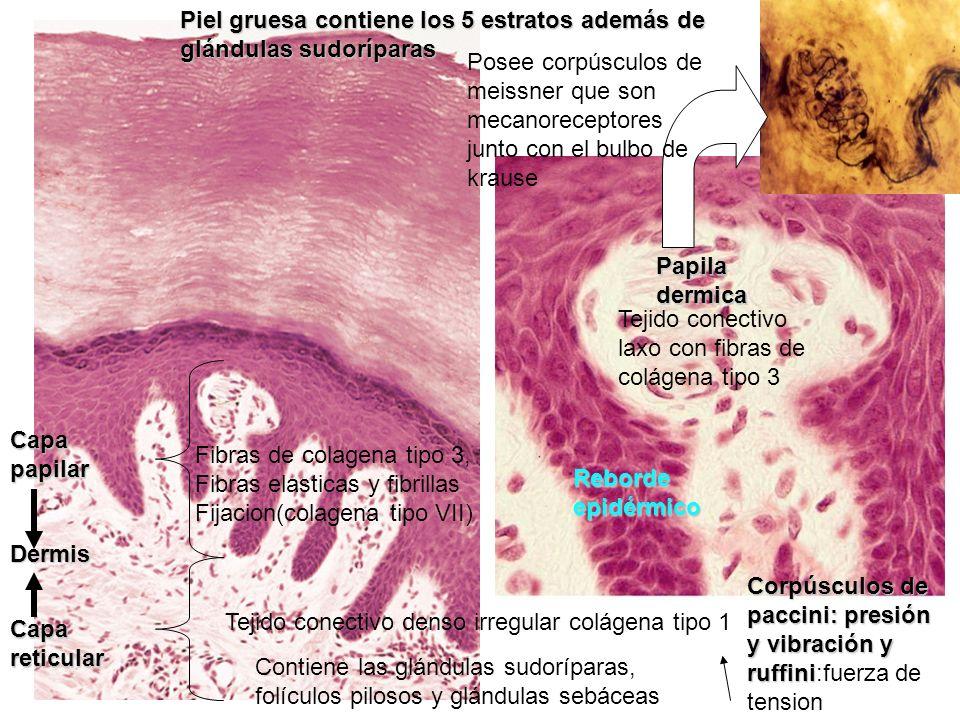 Papila dermica Reborde epidérmico Piel gruesa contiene los 5 estratos además de glándulas sudoríparas Tejido conectivo laxo con fibras de colágena tip