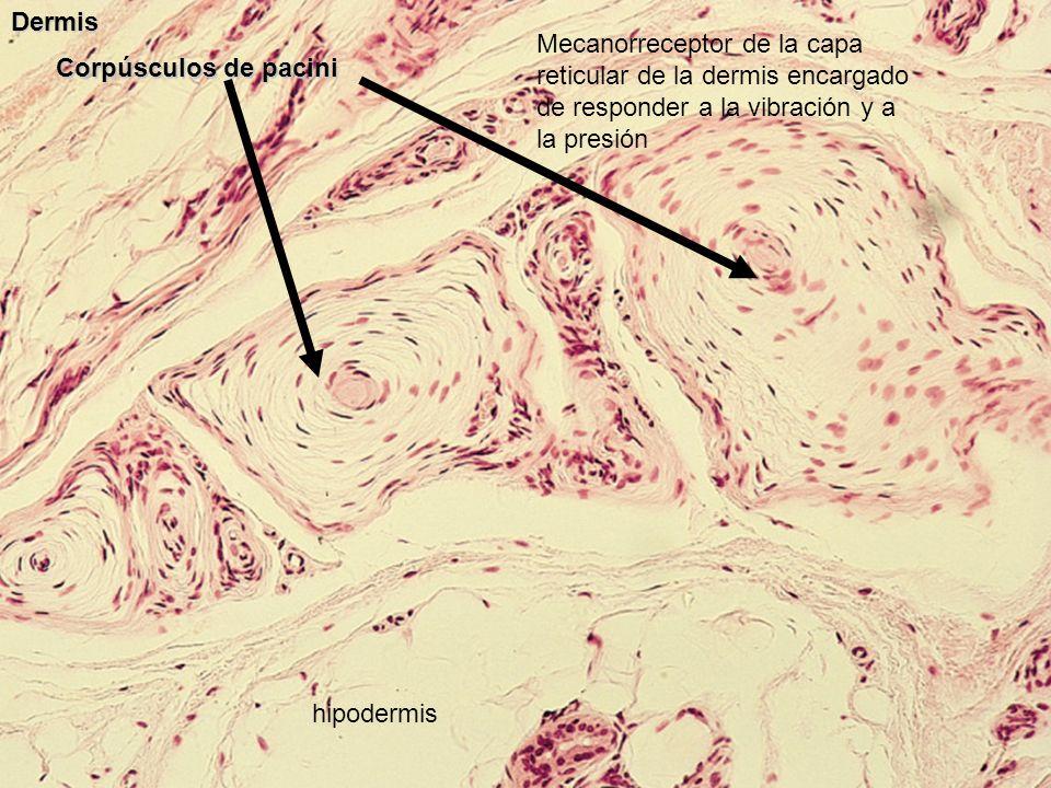 Corpúsculos de pacini Dermis hipodermis Mecanorreceptor de la capa reticular de la dermis encargado de responder a la vibración y a la presión