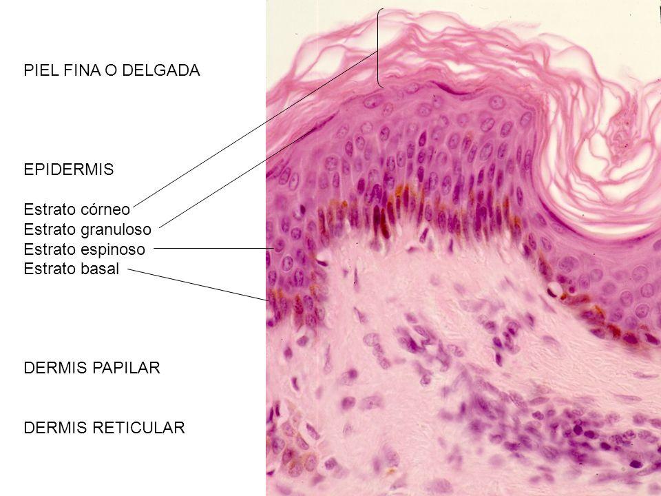 PIEL FINA O DELGADA EPIDERMIS Estrato córneo Estrato granuloso Estrato espinoso Estrato basal DERMIS PAPILAR DERMIS RETICULAR