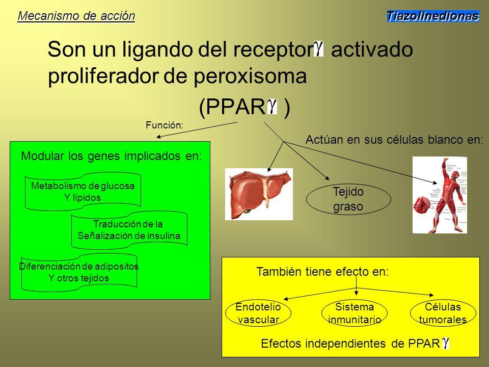 Son un ligando del receptor activado proliferador de peroxisoma (PPAR ) Tiazolinedionas Tejido graso Actúan en sus células blanco en: También tiene ef