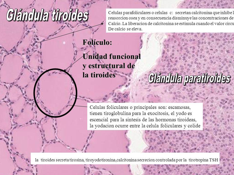Folículo: Unidad funcional y estructural de la tiroides la tiroides secreta tirosina, tiroyodotironina,calcitonina secrecion controlada por la tirotropina TSH Celulas foliculares o principales son: escamosas, tienen tiroglobulina para la exocitosis, el yodo es escencial para la sintesis de las hormonas tiroideas, la yodacion ocurre entre la celula foliculares y colide Celulas parafoliculares o celulas c: secretan calcitonina que inhibe la reasorcion osea y en consecuencia disminuye las concentraciones de Calcio.