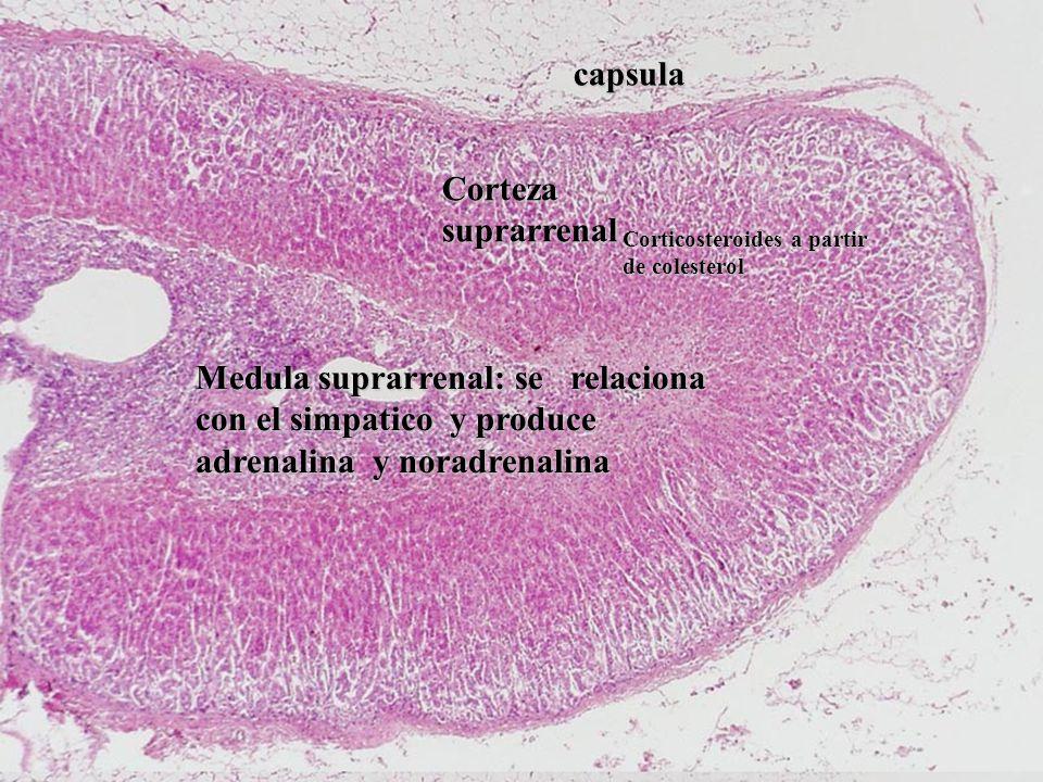 Corteza suprarrenal Medula suprarrenal: se relaciona con el simpatico y produce adrenalina y noradrenalina capsula Corticosteroides a partir de colesterol