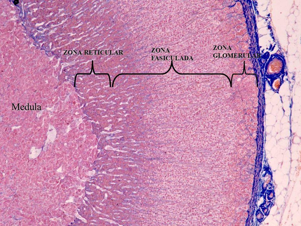 ZONA RETICULAR ZONA FASICULADA ZONA GLOMERULAR Medula
