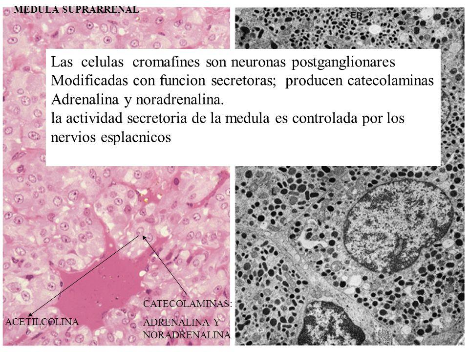 MEDULA SUPRARRENAL CATECOLAMINAS: ADRENALINA Y NORADRENALINA ACETILCOLINA Las celulas cromafines son neuronas postganglionares Modificadas con funcion secretoras; producen catecolaminas Adrenalina y noradrenalina.